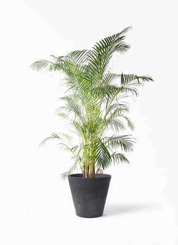 観葉植物 アレカヤシ 10号 アートストーン ラウンド ブラック 付き