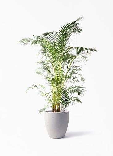 観葉植物 アレカヤシ 10号 コーテス ラウンド ベージュ 付き