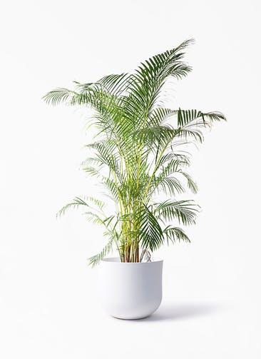 観葉植物 アレカヤシ 10号 アユラニ ライレイ 付き