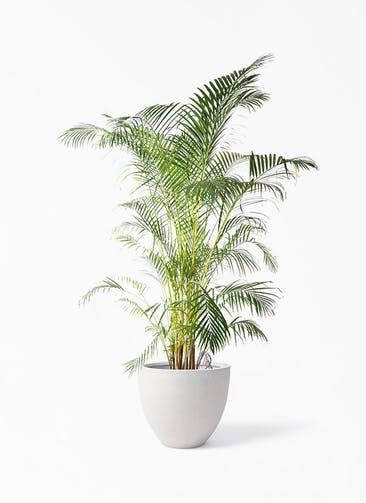 観葉植物 アレカヤシ 10号 スタウト アッシュラウンド  付き
