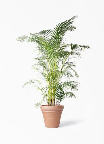 観葉植物 アレカヤシ 10号 トスカーナ リムポット 付き
