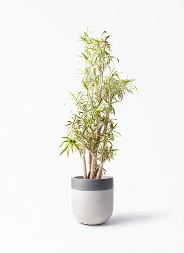 観葉植物 ドラセナ ソング オブ インディア 10号 バルゴ ツートーン  サンディホワイト 付き