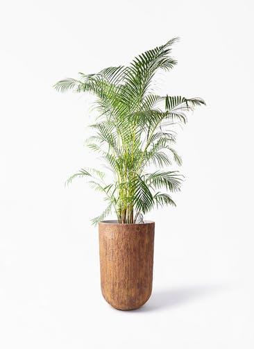 観葉植物 アレカヤシ 10号 バル トール ラスティ 付き