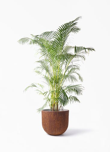 観葉植物 アレカヤシ 10号 バル ユーポット ラスティ  付き
