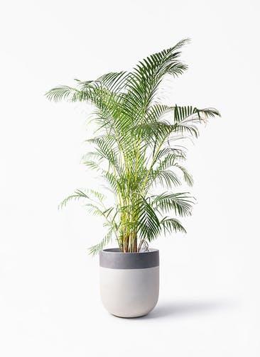 観葉植物 アレカヤシ 10号 バルゴ ツートーン  サンディホワイト 付き