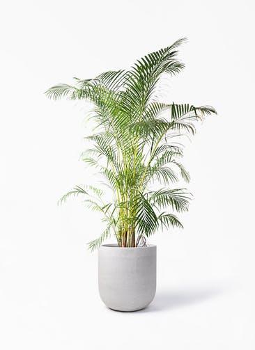 観葉植物 アレカヤシ 10号 バルゴ モノ ライトグレー 付き