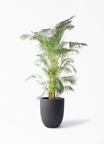観葉植物 アレカヤシ 10号 ビアスアルトエッグ ブラック 付き