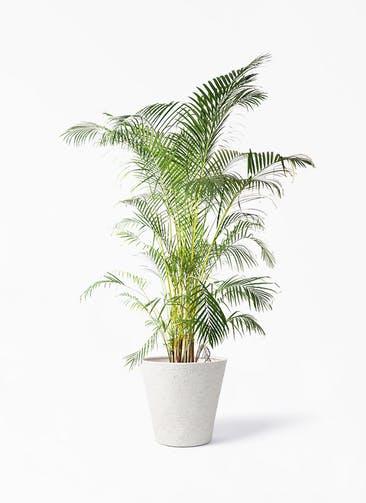 観葉植物 アレカヤシ 10号 ビアスソリッド アイボリー 付き