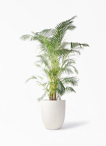 観葉植物 アレカヤシ 10号 フォリオアルトエッグ クリーム 付き