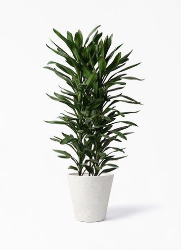 観葉植物 ドラセナ グローカル 10号 ビアスソリッド アイボリー 付き