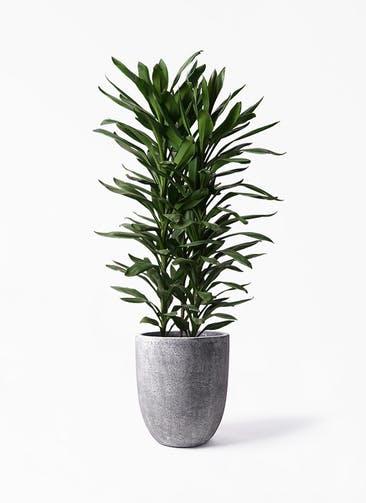 観葉植物 ドラセナ グローカル 10号 フォリオアルトエッグ ブラックウォッシュ 付き