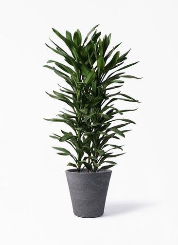 観葉植物 ドラセナ グローカル 10号 ビアスソリッド ブラック 付き