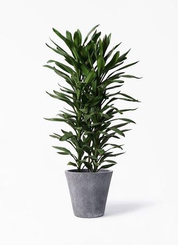 観葉植物 ドラセナ グローカル 10号 フォリオソリッド ブラックウォッシュ 付き