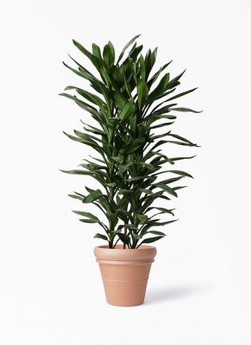 観葉植物 ドラセナ グローカル 10号 トスカーナ リムポット 付き