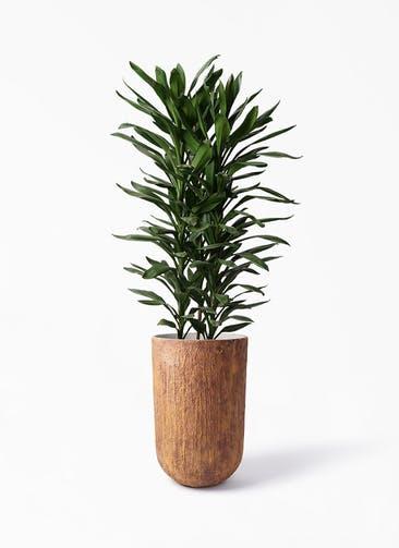 観葉植物 ドラセナ グローカル 10号 バル トール ラスティ 付き