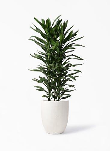 観葉植物 ドラセナ グローカル 10号 フォリオアルトエッグ クリーム 付き