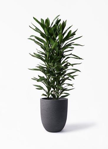 観葉植物 ドラセナ グローカル 10号 ビアスアルトエッグ ブラック 付き
