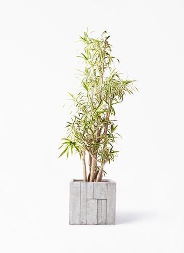 観葉植物 ドラセナ ソング オブ インディア 10号 パターン キューブ 付き
