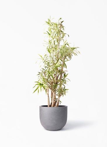 観葉植物 ドラセナ ソング オブ インディア 10号 コンカー ラウンド 付き