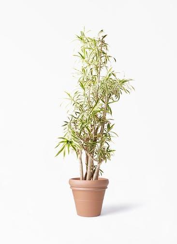 観葉植物 ドラセナ ソング オブ インディア 10号 トスカーナ リムポット 付き
