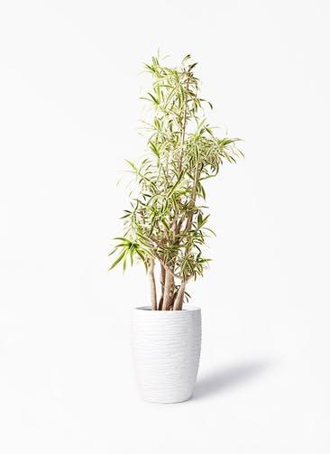 観葉植物 ドラセナ ソング オブ インディア 10号 サン ミドル リッジ 白 付き