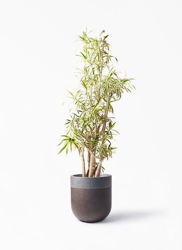 観葉植物 ドラセナ ソング オブ インディア 10号 バルゴ ツートーン マットブラウン 付き