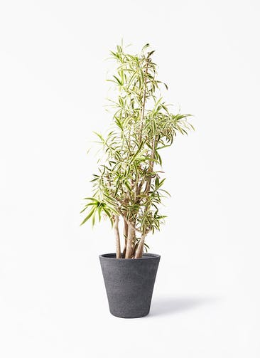 観葉植物 ドラセナ ソング オブ インディア 10号 ビアスソリッド ブラック 付き