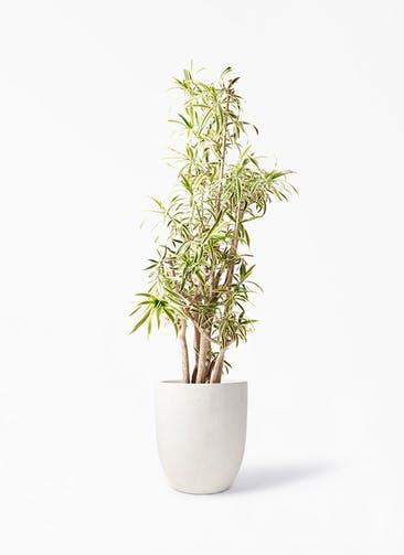 観葉植物 ドラセナ ソング オブ インディア 10号 フォリオアルトエッグ クリーム 付き