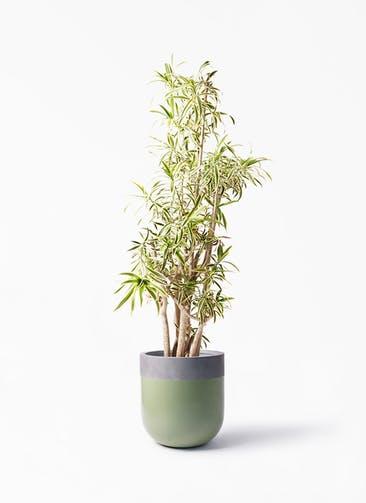 観葉植物 ドラセナ ソング オブ インディア 10号 バルゴ ツートーン 緑 付き