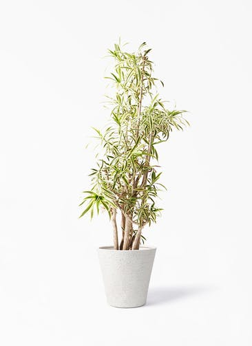 観葉植物 ドラセナ ソング オブ インディア 10号 ビアスソリッド アイボリー 付き