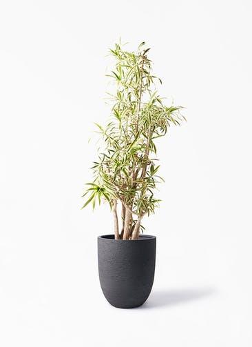 観葉植物 ドラセナ ソング オブ インディア 10号 ビアスアルトエッグ ブラック 付き