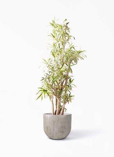 観葉植物 ドラセナ ソング オブ インディア 10号 バル ユーポット アンティークセメント 付き