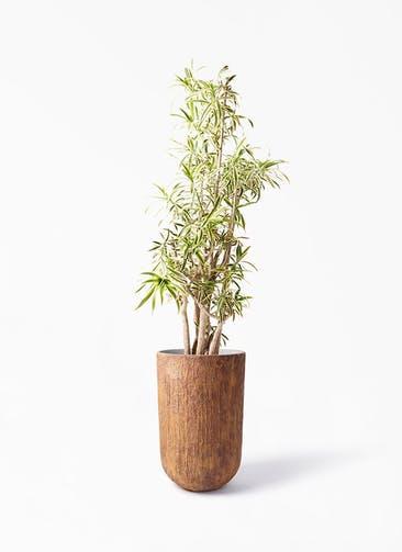 観葉植物 ドラセナ ソング オブ インディア 10号 バル トール ラスティ 付き