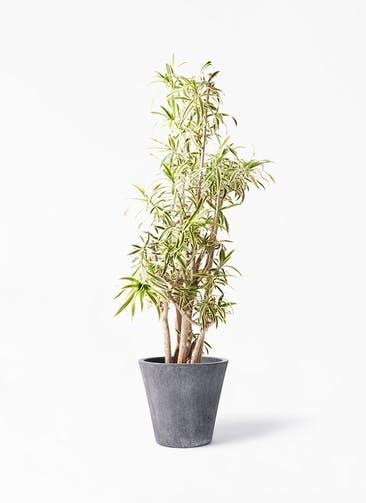観葉植物 ドラセナ ソング オブ インディア 10号 フォリオソリッド ブラックウォッシュ 付き
