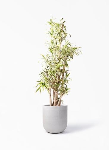 観葉植物 ドラセナ ソング オブ インディア 10号 バルゴ モノ ライトグレー 付き