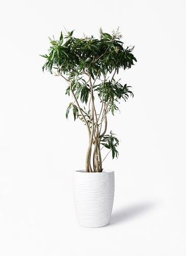 観葉植物 ドラセナ ソング オブ ジャマイカ 10号 サン ミドル リッジ 白 付き