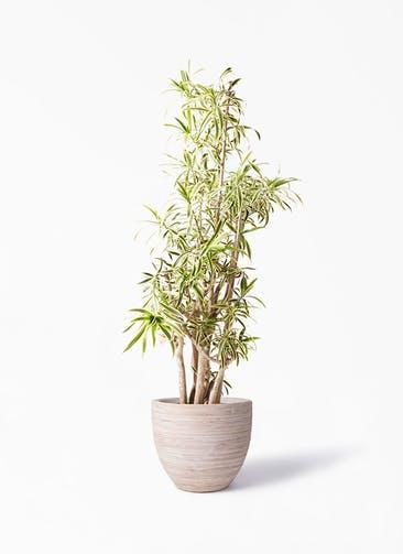 観葉植物 ドラセナ ソング オブ インディア 10号 マラッカ クリームウォッシュ 付き
