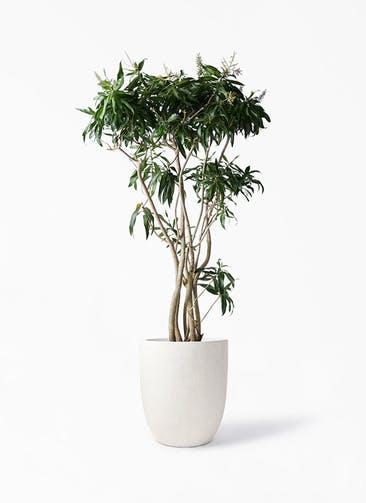 観葉植物 ドラセナ ソング オブ ジャマイカ 10号 フォリオアルトエッグ クリーム 付き