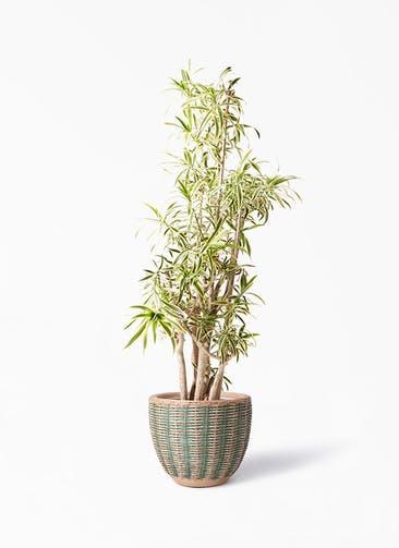 観葉植物 ドラセナ ソング オブ インディア 10号 マラッカ ダイドグリーン 付き