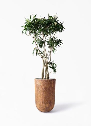 観葉植物 ドラセナ ソング オブ ジャマイカ 10号 バル トール ラスティ 付き