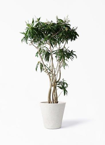 観葉植物 ドラセナ ソング オブ ジャマイカ 10号 ビアスソリッド アイボリー 付き