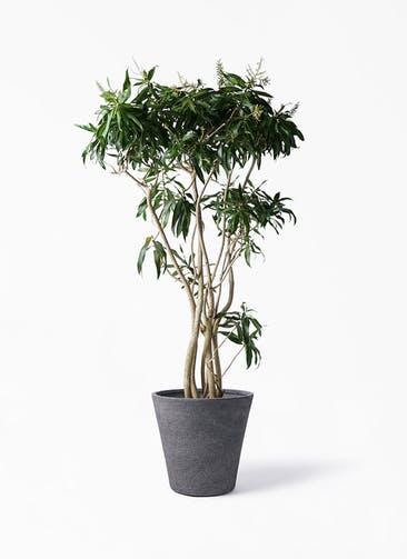 観葉植物 ドラセナ ソング オブ ジャマイカ 10号 ビアスソリッド ブラック 付き