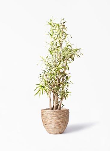 観葉植物 ドラセナ ソング オブ インディア 10号 マラッカ ウォーターヒヤシンス 付き