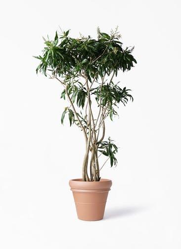 観葉植物 ドラセナ ソング オブ ジャマイカ 10号 トスカーナ リムポット 付き
