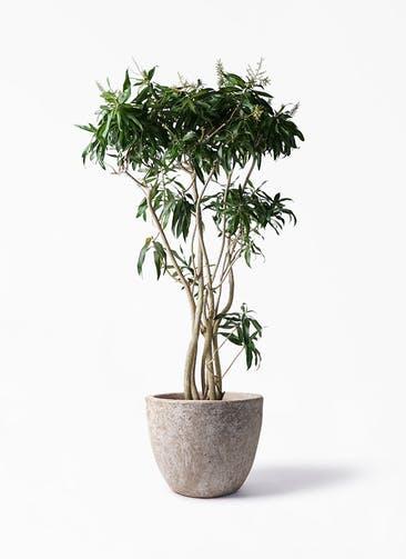 観葉植物 ドラセナ ソング オブ ジャマイカ 10号 アビスソニア ラウンド 付き