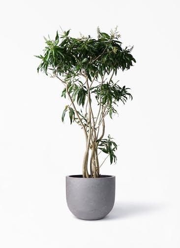 観葉植物 ドラセナ ソング オブ ジャマイカ 10号 コンカー ラウンド 付き