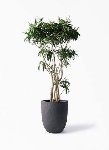 観葉植物 ドラセナ ソング オブ ジャマイカ 10号 ビアスアルトエッグ ブラック 付き