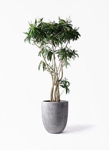 観葉植物 ドラセナ ソング オブ ジャマイカ 10号 フォリオアルトエッグ ブラックウォッシュ 付き