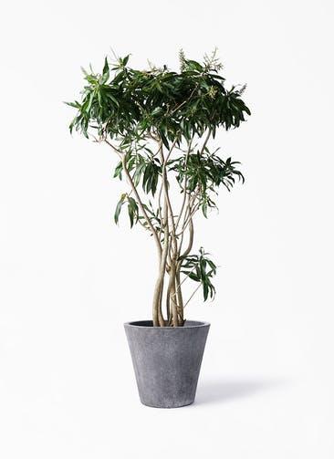観葉植物 ドラセナ ソング オブ ジャマイカ 10号 フォリオソリッド ブラックウォッシュ 付き