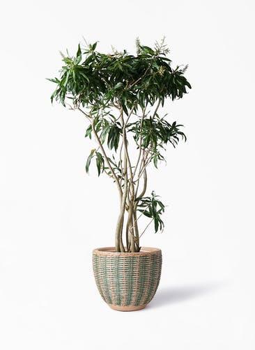 観葉植物 ドラセナ ソング オブ ジャマイカ 10号 マラッカ ダイドグリーン 付き